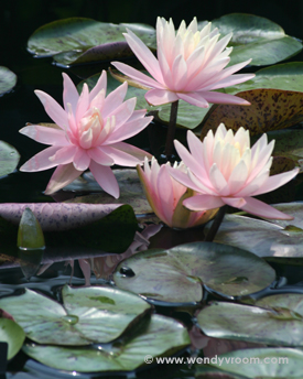 Water Lilies Macro Matted & Giclée Canvas Prints