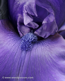 Purple Iris - Featured Macro Matted & Giclée Canvas Prints