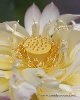 Lotus - Tropical Macro Matted & Giclée Canvas Prints