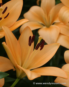 Orange Lily - Featured Macro Matted & Giclée Canvas Prints