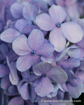 Hydrangea Macro Matted & Giclée Canvas Prints
