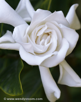 Gardenia - Tropical Macro Matted & Giclée Canvas Prints