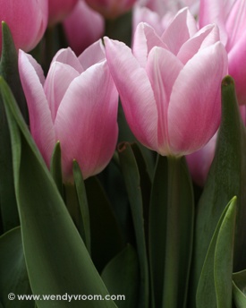 Tulips Macro Matted & Giclée Canvas Prints