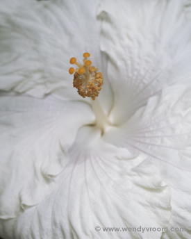 White Hibiscus - Tropical Macro Matted & Giclée Canvas Prints