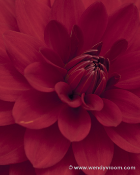 Dahlias Macro Matted & Giclée Canvas Prints