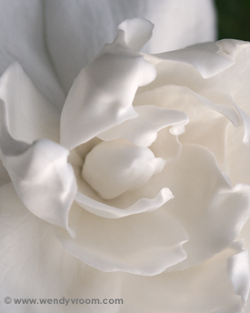 White Gardenia - Tropical Macro Matted & Giclée Canvas Prints