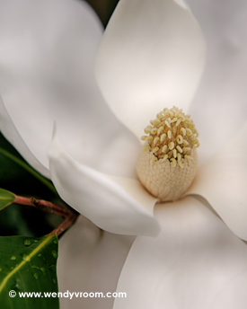 Magnolia - Featured Macro Matted & Giclée Canvas Prints