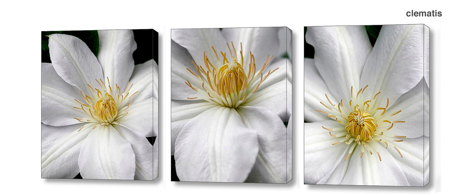 clematis series - Floral Series Wall Decor Macro Photography Matted & Giclée Canvas Prints