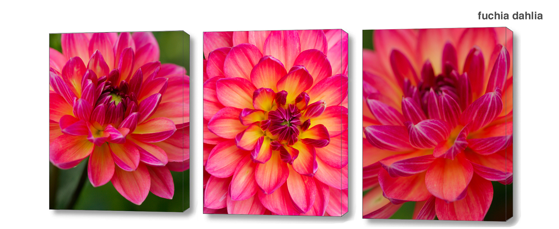 fuchia dahlia series - Floral Series Wall Decor Macro Photography Matted & Giclée Canvas Prints