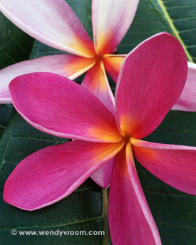 Pink Plumeria - Tropical Macro Matted & Giclée Canvas Prints
