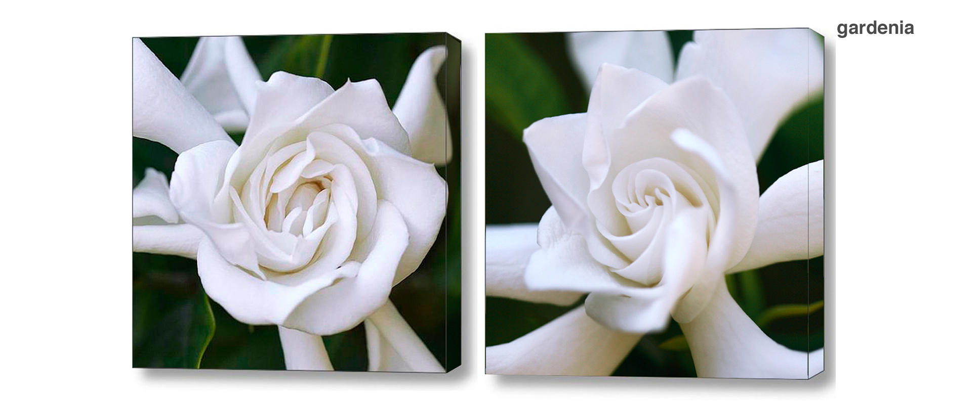 gardenia series - Floral Series Wall Decor Macro Photography Matted & Giclée Canvas Prints