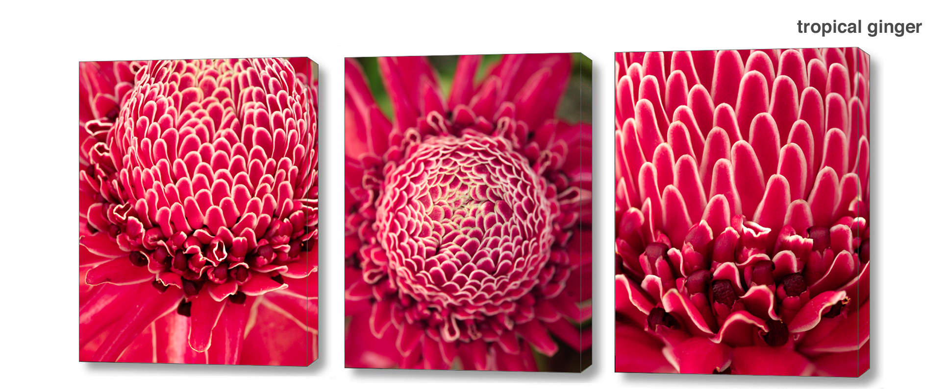 ginger series - Floral Series Wall Decor Macro Photography Matted & Giclée Canvas Prints