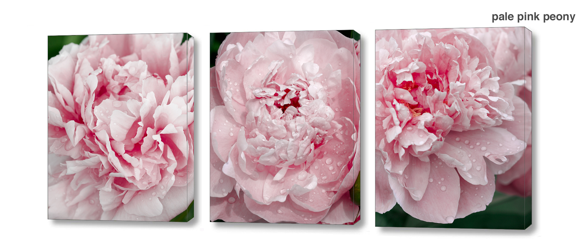 pale pink peony series - Floral Series Wall Decor Macro Photography Matted & Giclée Canvas Prints