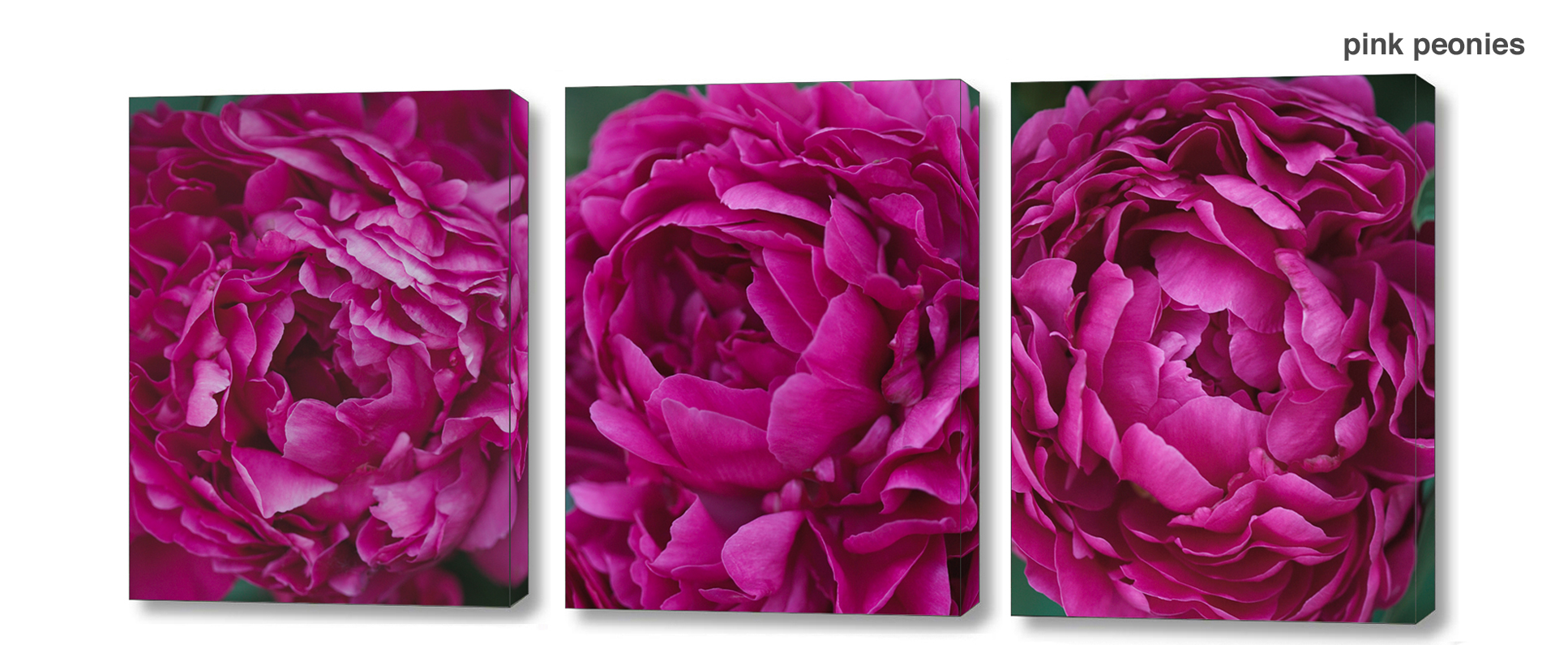 pink peony series - floral Wall Decor Macro Photography Matted & Giclée Canvas Prints