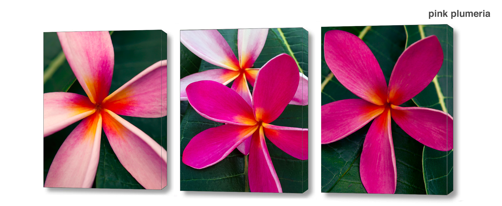 pink plumeria series - Floral Series Wall Decor Macro Photography Matted & Giclée Canvas Prints