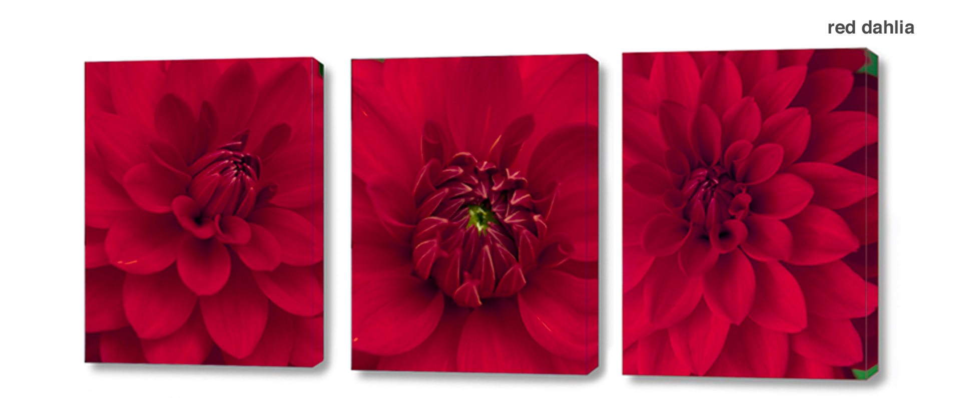 red dahlia series - Floral Series Wall Decor Macro Photography Matted & Giclée Canvas Prints