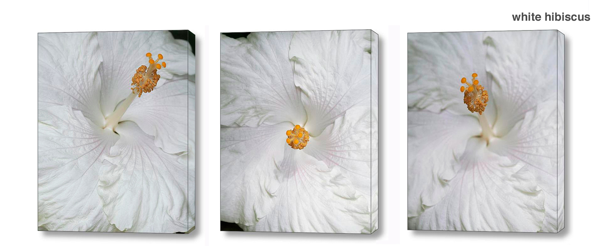 white hibiscus series - Floral Series Wall Decor Macro Photography Matted & Giclée Canvas Prints