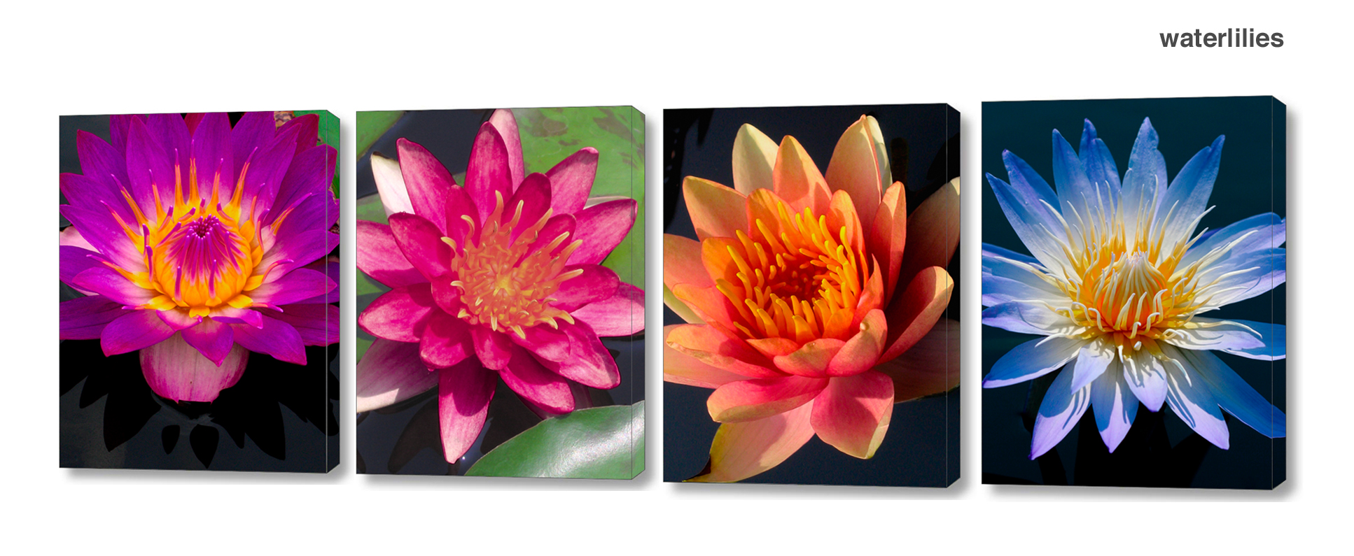 water lily series - Floral Series Wall Decor Macro Photography Matted & Giclée Canvas Prints