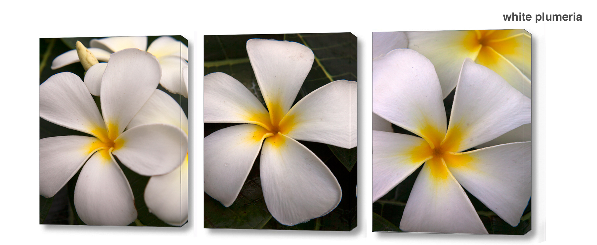 white plumeria series - Floral Series Wall Decor Macro Photography Matted & Giclée Canvas Prints