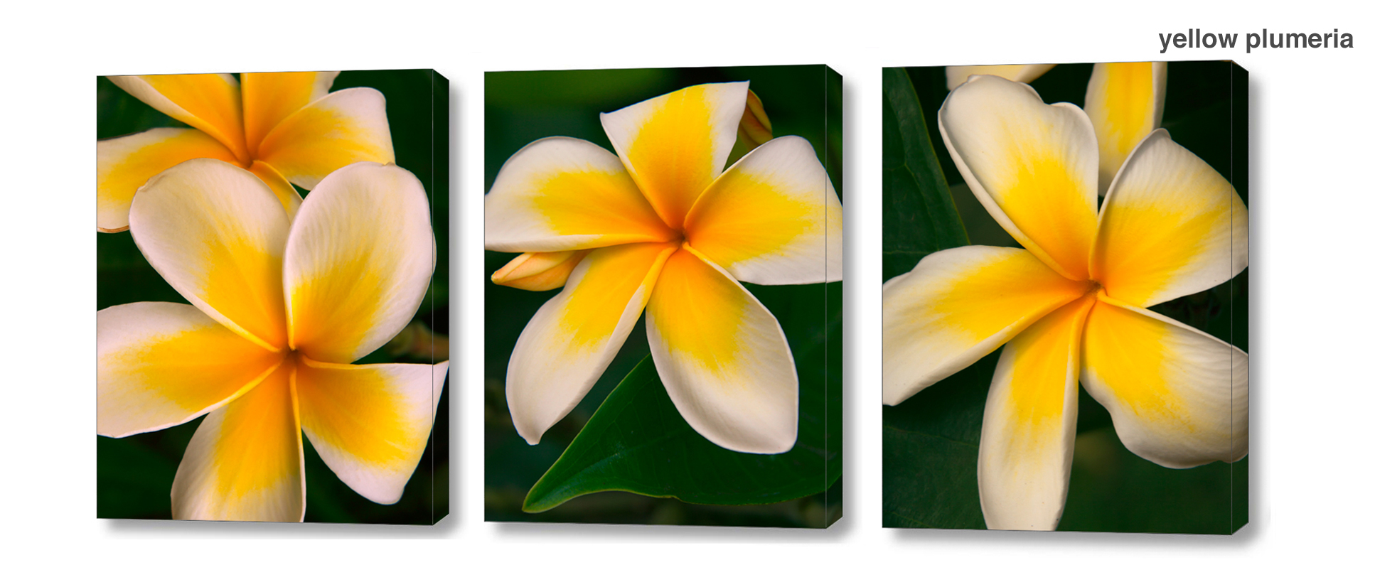 yellow plumeria series - Floral Series Wall Decor Macro Photography Matted & Giclée Canvas Prints