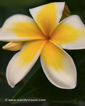 Yellow Plumeria - Tropical Macro Matted & Giclée Canvas Prints