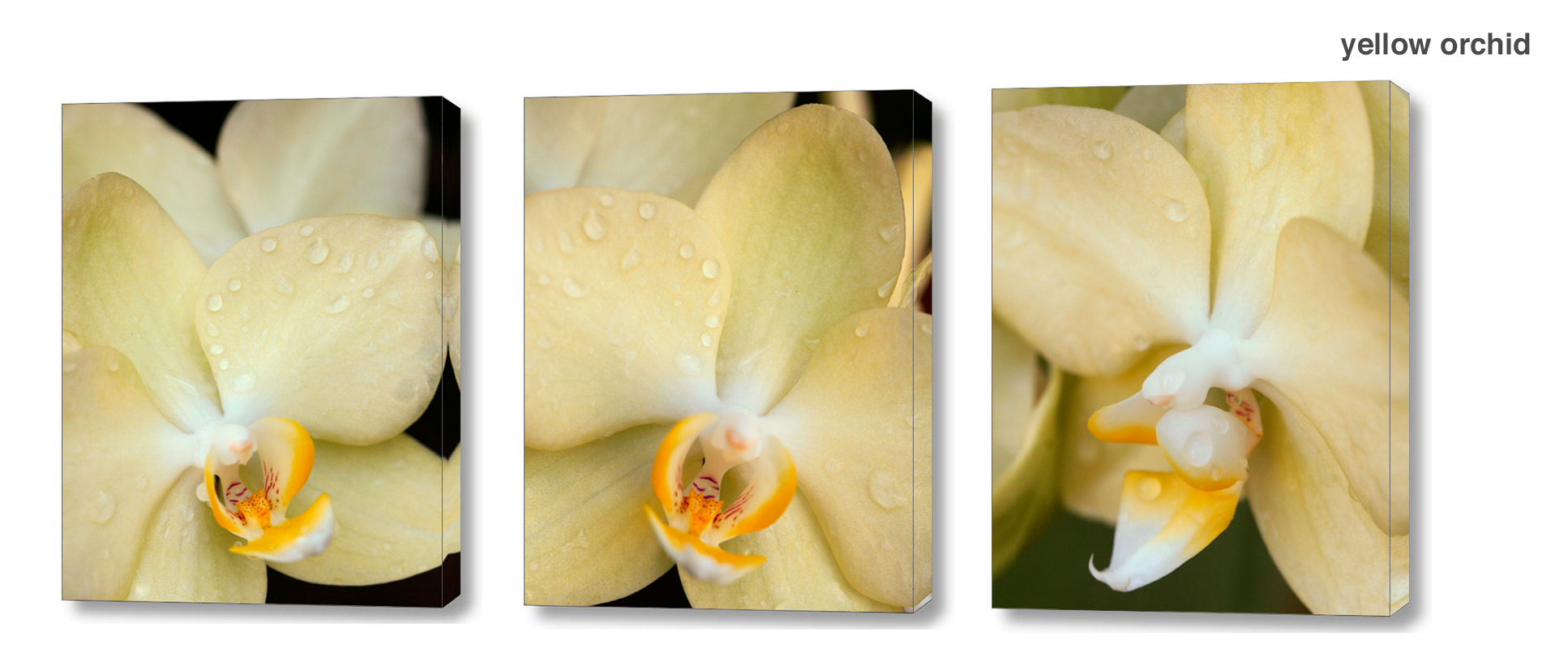 yellow orchid series - Floral Series Wall Decor Macro Photography Matted & Giclée Canvas Prints